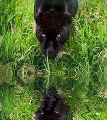 Black jaguar Panthera Onca prowling through long grass reflected