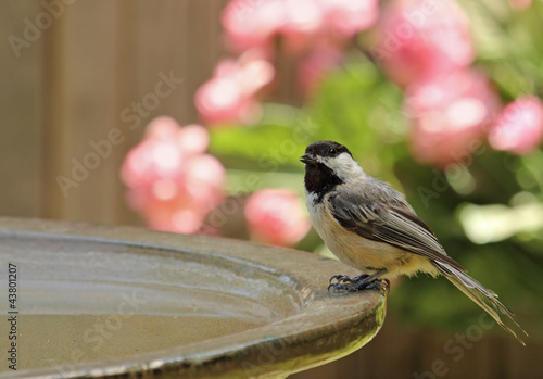 Black-capped Chickadee, Poecile atricapilla, Perched