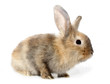 Brown rabbit bunny isolated on white background