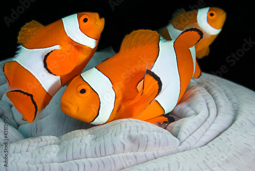 Clownfish family, Amphiprion ocellaris