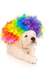 Portrait of a retriever puppy in colored wig