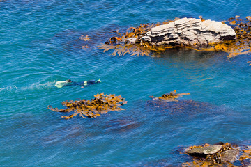 Snorkeller in ocean between rocks and bull kelp
