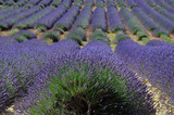 Field of lavender. Provence, France
