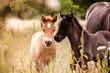 Fototapeten,fohlen,klein,jung,pferd