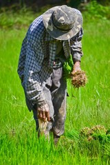 farmer working planting rice in farm of Thailand southeast asia