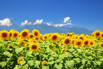 Sunflower field and mountain