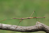 Northern Walking Stick (Diapheromera femorata) on a Tree Branch