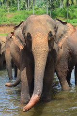 Pinnawala elephant park