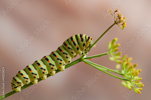 Swallowtail caterpillar macacon