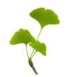 Grüne Ginkgoblätter