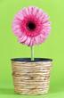 Blume in Übertopf aus Wasserhyazinthe