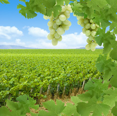 Weinberge mit Weintrauben