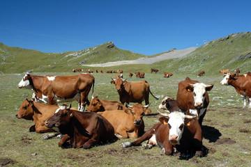 Vaches Abondance et Tarine