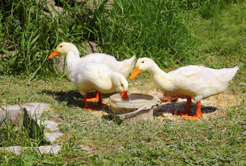 group of domestic ducks feeding at the backyard 2