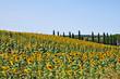 Постер, плакат: I campi di girasoli della Toscana