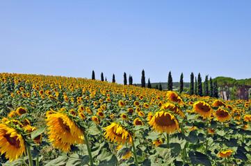 I campi di girasoli della Toscana
