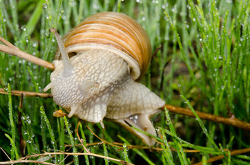 snail acrobat stares into camera, wet grass