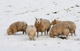 Sheep in Dutch wintertime, searching for grass under the snow