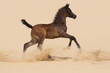 Arabian foal galloping in desert