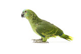Blue fronted Amazon parrot on white background