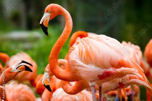 Fototapeten,flamingo,flamingo,rosa,vögel