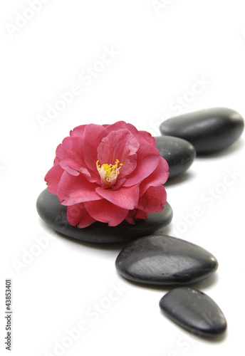 Beautiful red camellia flower with black stones