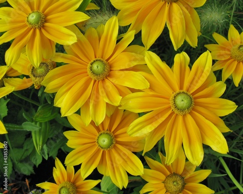 Yellow dahlia flowers in a garden