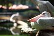 White pelican (Pelecanus onocrotalus) standing on grass