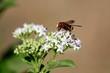 ape nel fiore