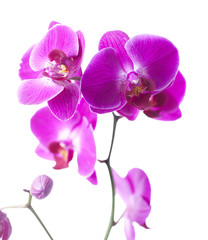 orchid luxury