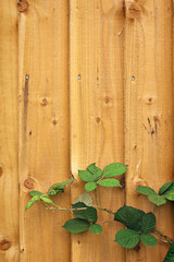 Wooden fence with blackberry leaves