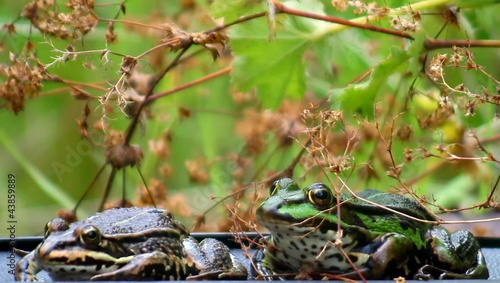 Frogs - two - couple - croak