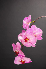 Beautiful blooming orchid on grey background
