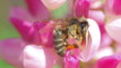 bee collects nectar from pink flowers of lupine close-up