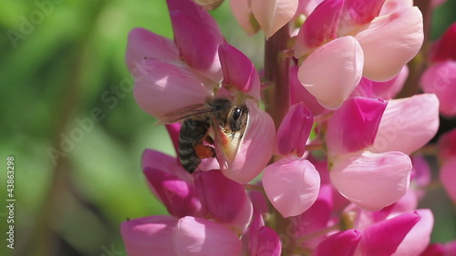 bee collects nectar of lupine