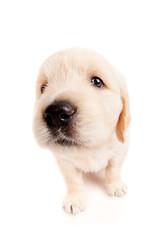 Funny golden retriever puppy
