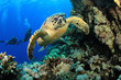 Hawksbill Turtle And Scuba Div...