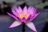 Pink Water lily / Lotus, close up