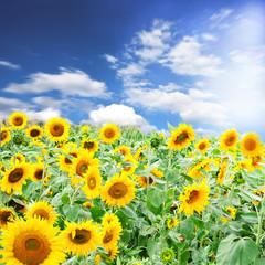 Sonnenblumen mit Sommer-Himmel