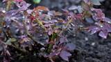 Raindrops Over The Rose Bush