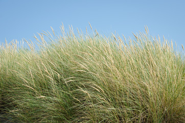 Golden dune beach grasses against the blue sky