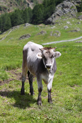 Jungrinder auf Südtiroler Almen