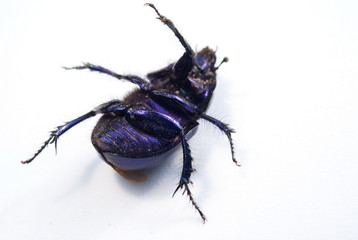 close-up photo of big female stag-beetle