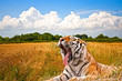 Yawning Tiger in field