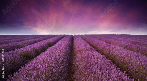 Stunning lavender field landscape Summer sunset - 43893283