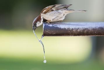 Gorrión bebiendo agua del caño de una fuente.