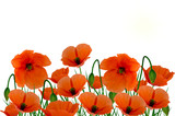 Field poppies on a white background