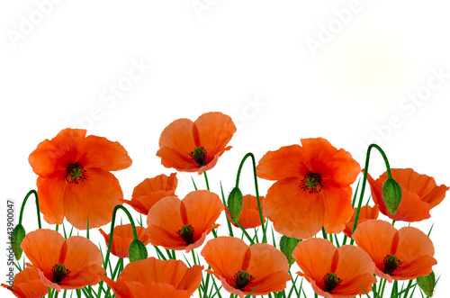 Foto op Canvas Poppy Field poppies on a white background