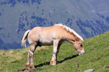 Jeune cheval poulain