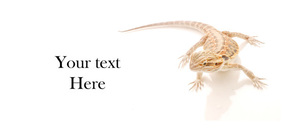 Bearded Dragon and space for Custom Text